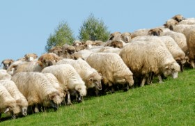 Compliance training sheep